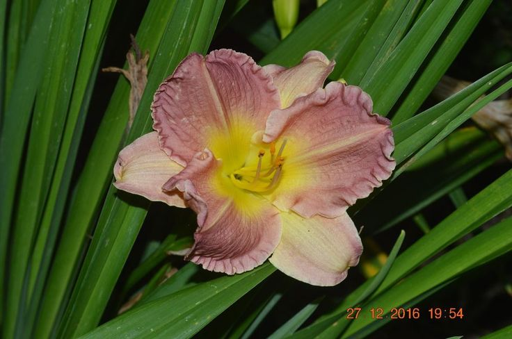 PLANTS-DAYLILY- H. 'Pearly's Spirit'  #Plants