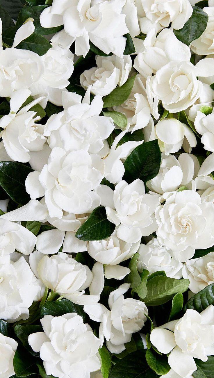 1817 Best High Camp Gardenias Images On Pinterest Gardenias