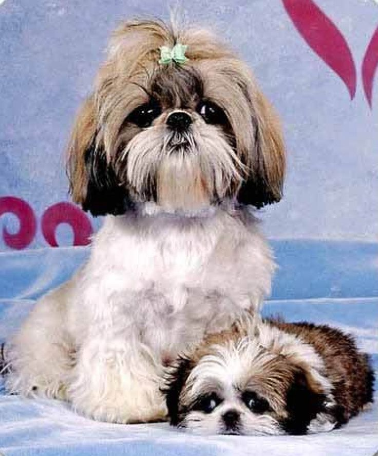 black   and shoes   cuties Tzu  and Shih   green Dog Names tzu men Art for Shih    Dog