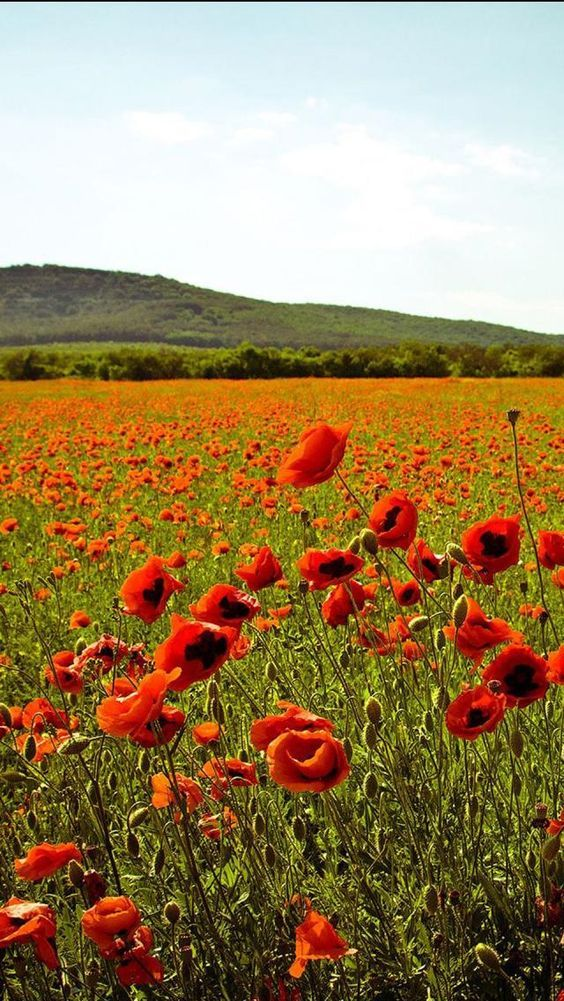 Summer in Ukraine--a field of poppies! So typical in the countryside!:
