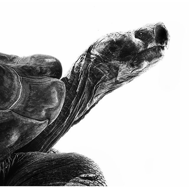 This photo and many others are part of a print sale that you can access from a link in my bio. Most of the work that I have done in the last few years for @Natgeo has some component of Evolutionary Biology. This tortoise from Galápagos Islands was photographed as part of an @Natgeo article on #CharlesDarwin #EvolutionaryBiology #evolution  via ✨ @padgram ✨(http://dl.padgram.com)