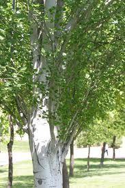 Chopo (árbol)