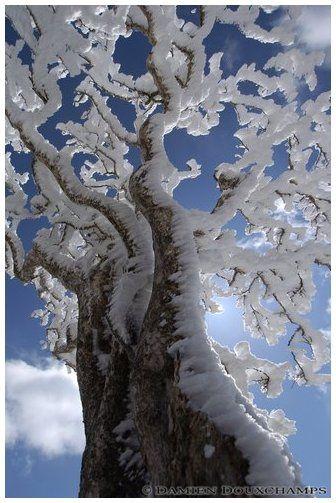 Le vent et la neige ont brodé l'arbre de festons de glace. / Wind-sculped, ice-laden tree. / By Miuneyama 三峰山.