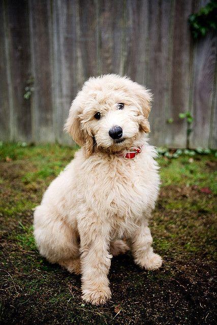Golden doodle #puppy