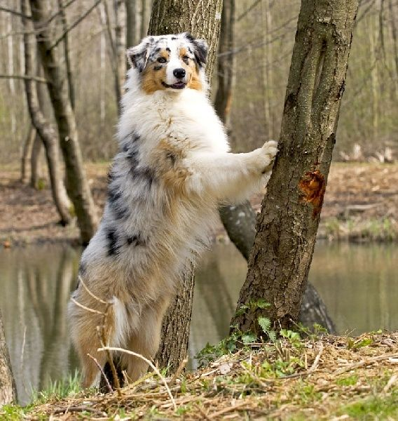 Blue Merle Aussie: Australian Shepard, Tree, Aussie Dogs, Austrailian Shepard, Mini Aussie, Australian Shepherd, Awesome Aussies, Animal, Adorable Aussies