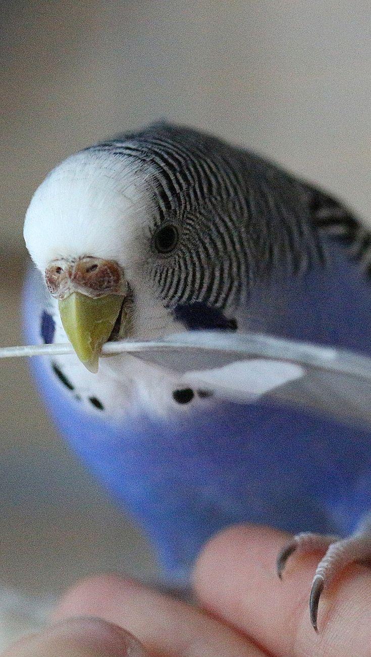 Chiocciolina: Wellensittich - cocorita - papagallino - budgie