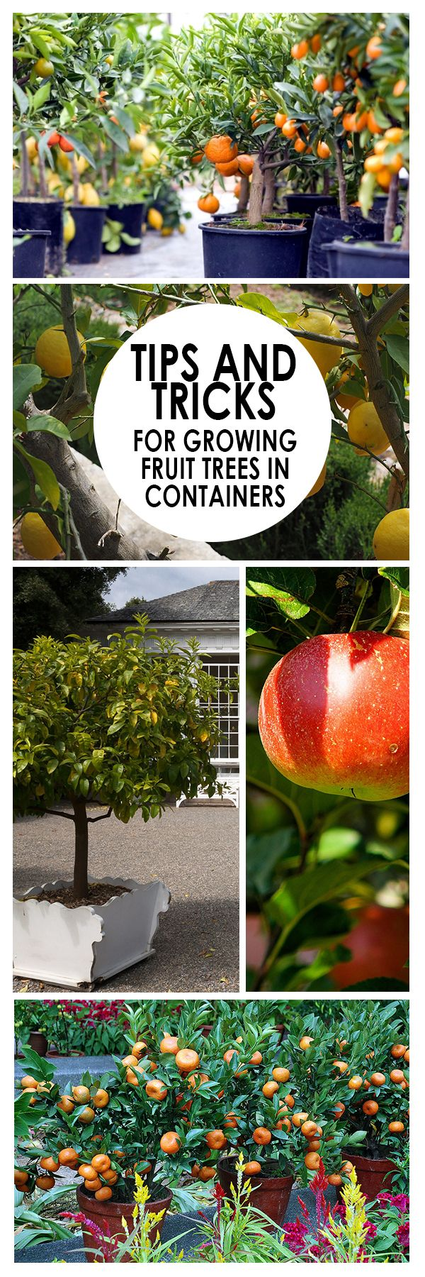 Fruit trees, while wonderful to have, are extremely difficult and time consuming to grow. If you don't have the outdoor space to accommodate such greenery, but you are dreaming of home grown fruit, try growing them in containers! Here are some great tips from HGTV and Garden.