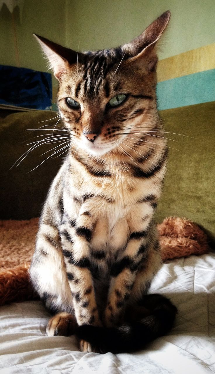Bengal cat, Jill G Rosenberg