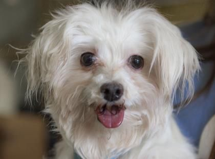 Petango.com – Meet Rumor, a 4 years 6 months Maltese available for adoption in COLORADO SPRINGS, CO