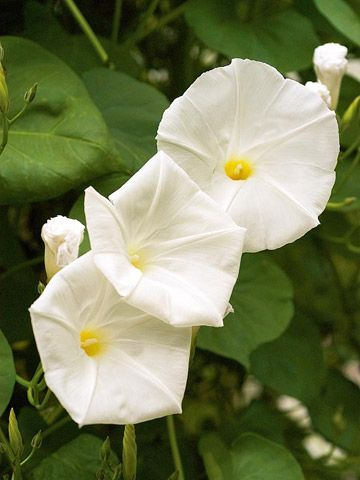 find this pin and more on climbing and vining plants - Vining Flowers