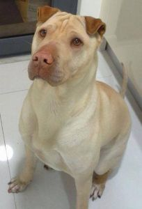 Sharpull Terrier, All About the Shar Pei Pit Bull Mix