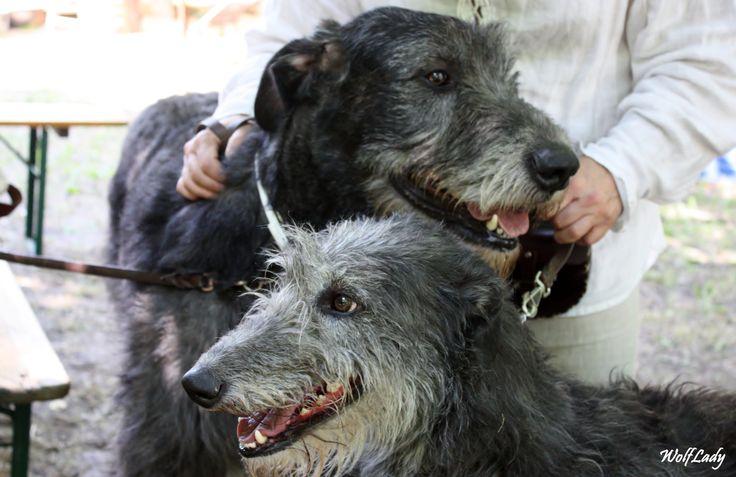 Wolfhound e Deerhound.. @wolflady90 #wolfhound #deerhound #levrieri