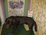 Chip (URGENT: ONLY HAS UNTIL 6/26) is an adoptable Chocolate Labrador Retriever Dog in Rochester Hills, MI. Chip is a 2 year old Chocolate Lab mix at the St. Clair County Animal Shelter in Port Huron....