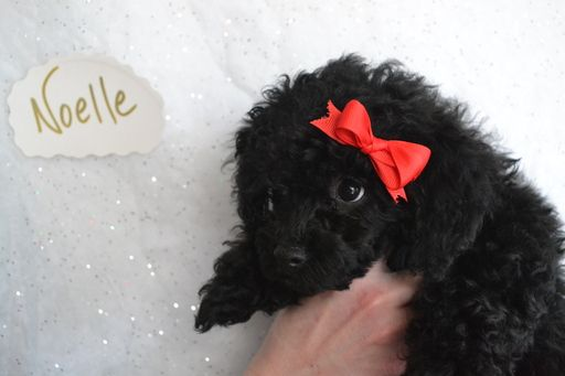 Litter Of 3 Poodle Toy Puppies For Sale In Onaga Ks Adn 64083