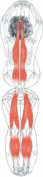 Paschimottanasana - Yoga anatomy.net