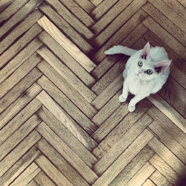 Daj piórko, no proooszę..;) #white #cat #devonrex #wood #floor