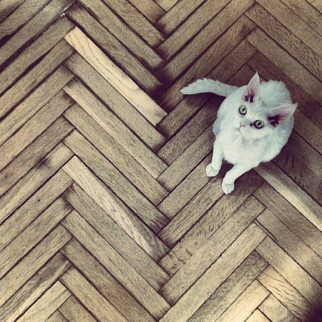 Daj piórko, no proooszę..;) #white #cat #devonrex #wood #floor