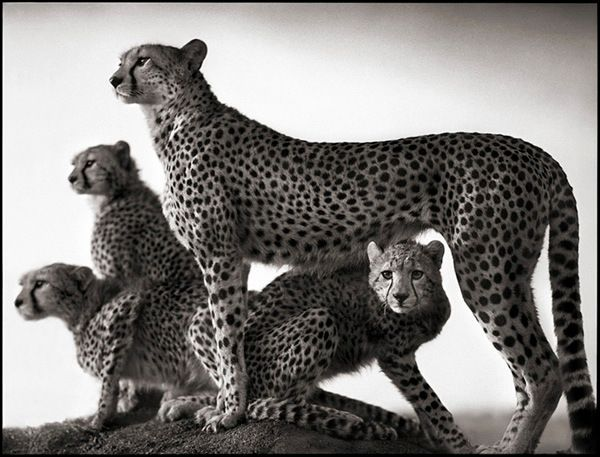 nb_cheetah&cubs-03_lr