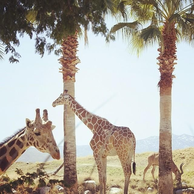 Giraffes in the Living Desert in Palm Springs, #California. Photo courtesy of katinaphoto on Instagram.