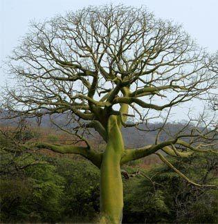 Ceiba tree (latin central am. caribbean): Vase Ideas, Beautiful Trees, Amazing Trees, Ceiba Trees, Trees Of Life, Google Search, Cieba Silk, Cotton Trees, Silk Cotton