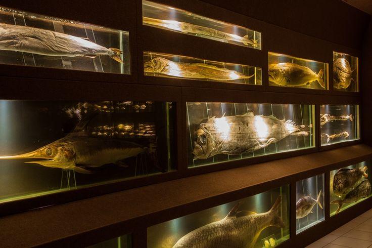 Exposições.Peixes oceânicos. Museu Oceanográfico da Univali. Endereço: Avenida Sambaqui, 318 - Santo Antonio, Piçarras - SC, 88380-000. http://www.univali.br/institucional/museu-oceanografico-univali/