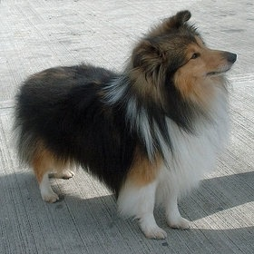Miniature collie - watch out Bailey, one day you'll have him as competition