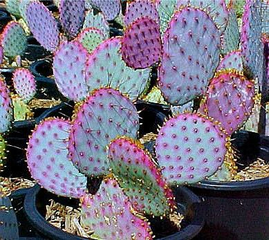 Opuntia violacea - Santa Rita Cactus
