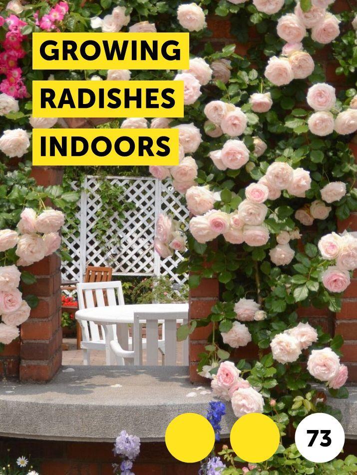 Growing Radishes Indoors Hibiscus Plant Beautiful Flowers