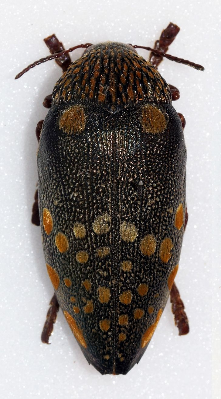 Sternocera Castanea Boucardii Bugs And Insects Beetle Weevils