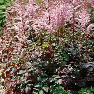 Buy Astilbe Color Flash Perennial Plants Online. Garden Crossings Online  Garden Center Offers A Large
