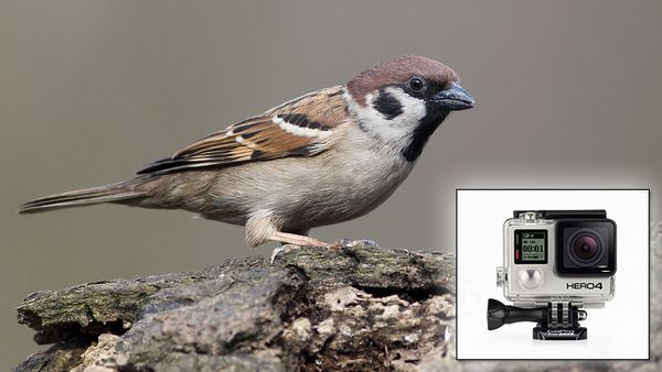 We Put A GoPro On A Sparrow - Click, watch, share @clickhole