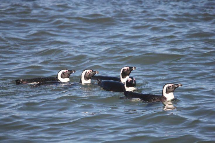 Spheniscus demersus / Pingüino del Cabo/ Jackass Penguin / Manchot du Cap/Brillenpinguin