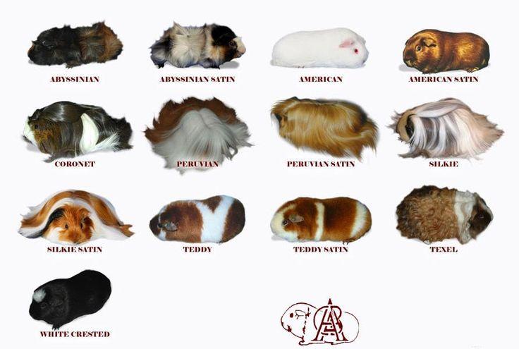 Cavy breeds- different coats/fur