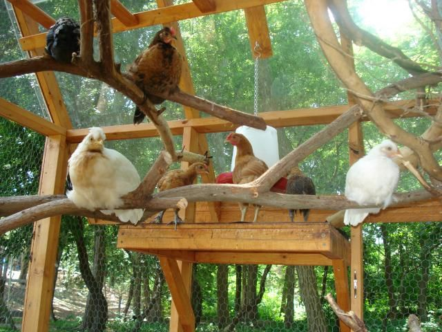 Natural branches for roosting: http://www.backyardchickens.com/forum/uploads/70075_dsc09402.jpg