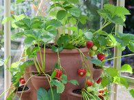 Visit HGTV Gardens for tips on growing strawberries in containers.