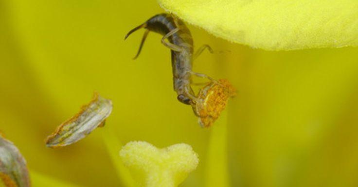 ¿Qué insecticida debería usar para matar tijeretas?. Las tijeretas parecen ser uno de esos insectos que provocan escalofríos. Tal vez sea por sus largos cuerpos segmentados y esos grandes apéndices en sus extremos que parecen tenazas. Aunque estos insectos causan miedo, en realidad no hacen daño a los seres humanos, pero pueden convertir tus plantas en queso Suizo. Se les observa más a menudo en las ...