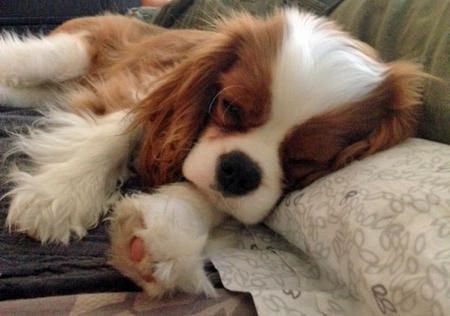 Kingston the Cavalier King Charles Spaniel - love sleepy puppy pictures!