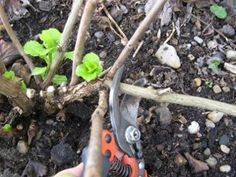 Apprenez quand et comment tailler l'hortensia. Faute de taille, les hortensias deviennent touffus et fleurissent mois bien. Une coupe raisonnée permet d'assurer le renouvellement des branches, sans compromettre la floraison...