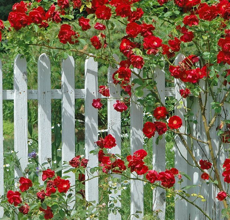 133 best images about fence pickets on pinterest garden for Climbing flowering plants for fences
