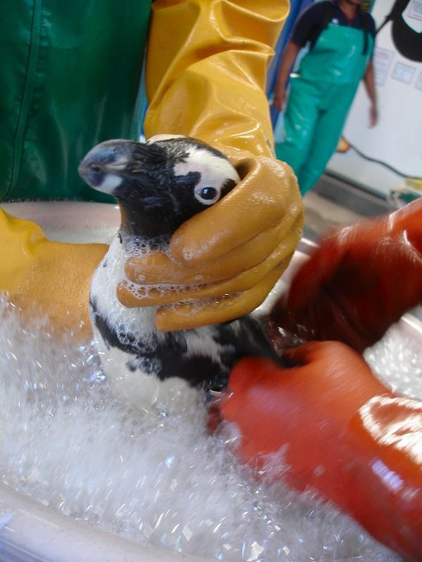 SANCCOB is an internationally recognized leader in oiled wildlife response.  Here, a oiled penguin is being washed at the SANCCOB centre.