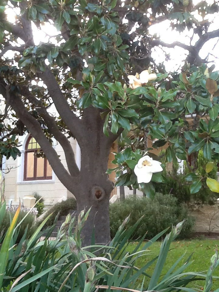 Magnolia tree in Barrydale