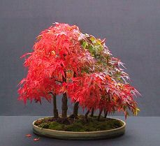 Japanese Maple Bonsai... Can U See Different Colors?... Incredible!!