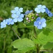 "Brunnera Macrophylla or more commonly known as ""Forget-Me-Not"""