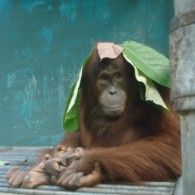 This story begins with a group of orangutans who are unable to be released back into the wild. Currently housed in cages, Orangutan Haven aims to construct a number of man-made islands that will provide new, open, natural homes for these beautiful animals.Orangutan Haven will not only get these ...