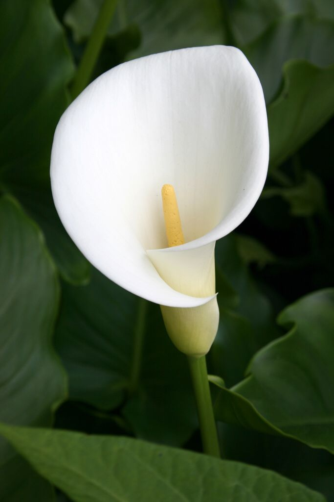 Calla lilly                                                       …
