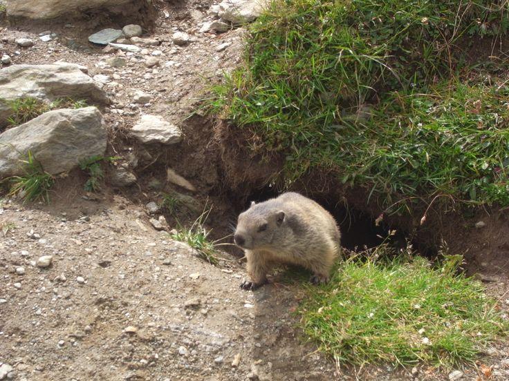 marmotte, Murmeltier in Spielboden, Saas-Fee