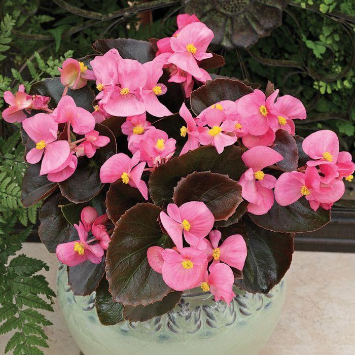 Pin De Carolina Forbdden Em Flowers Em 2020 Begonias Plantas Dentro De Casa Significado Das Flores