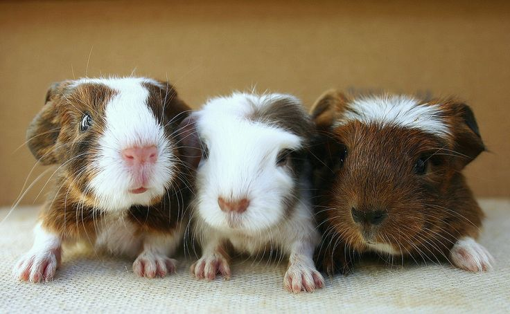 Brown baby guinea pigs