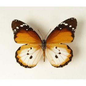 Vlinders :: Danaus chrysippus