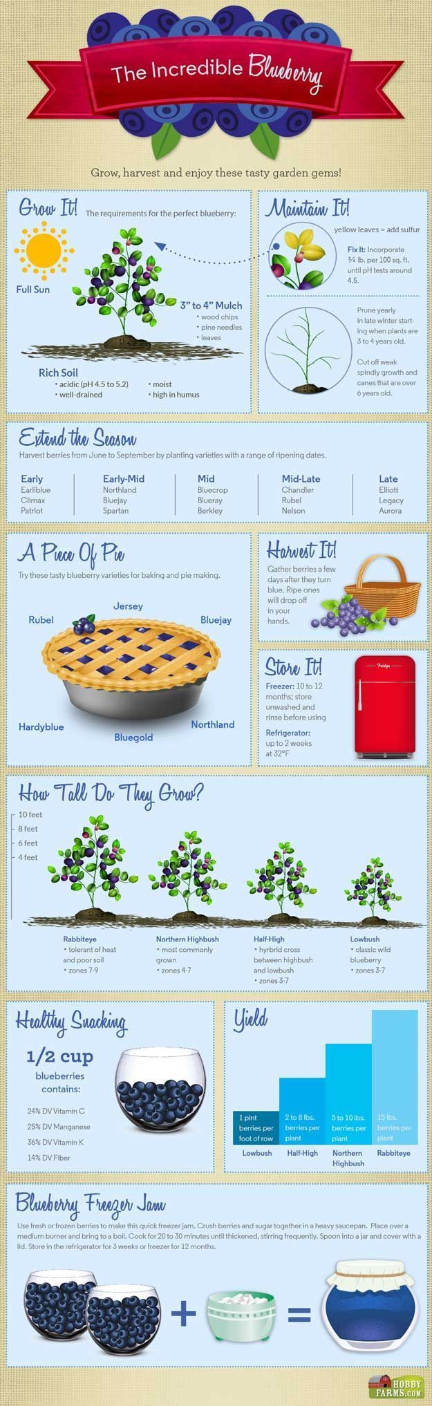 The Incredible Blueberry: Fact Sheet For Homesteading. Which Blueberry bush is right for your garden?  Click through for details on http://PioneerSettler.com